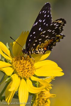 Crimson Patch Butterfly JN024399 by JaniceNolan_braud, via Flickr