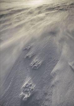 Vincent Munier Wildlife photographer polar bear La dernière évaluation mondiale de l'UICN démontre que la menace la plus importante pour la survie des ours polaires à long terme est la perte de son habitat de banquise induite par le réchauffement climatique