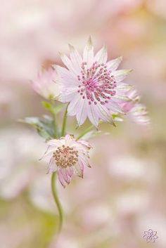 Masterwort Flowers | Astrantia major by Jacky Parker by VoyageVisuelle