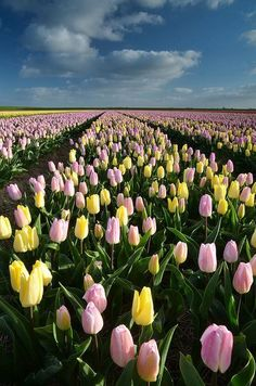 fields in Holland Flower fields in Holland. Pic by Gilles San Martin.Flower fields in Holland. Pic by Gilles San Martin. Tulips Garden, Tulips Flowers, Spring Flowers, Wild Flowers, Beautiful Flowers, Field Of Flowers, Purple Tulips, Flower Images, Flower Photos
