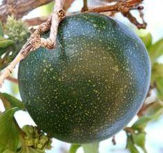 Strychnos cocculoides fruit