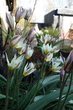 Tulipa Turcestanica i kruka hos Almbacken
