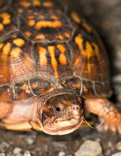 ˚Eastern Box Turtle Reptiles And Amphibians, Mammals, Box Turtles, Eastern Box Turtle, Kawaii Turtle, One Piece Wallpaper Iphone, Turtle Love, Alligators, Cute Box