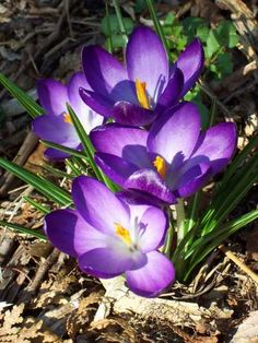 Crocuses Plant crocus bulbs in the Fall, a few inches apart, 3 to 4 inches deep (with the pointy end up). After planting, water well. Plant bulbs in groups or clusters of 10 or more. (rather than spacing them in a single line along a walkway or border. Crocus Plants, Crocus Bulbs, Bulb Flowers, Purple Flowers, Beautiful Flowers, Winter Flowers, Spring Flowers, Spring Blooms, Fall Plants