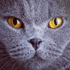 grey cat with brilliant eyes