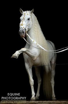 Andalusian horse performing.