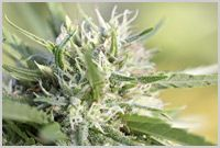 Cannabis Holds Promise In GI Disorder Treatment