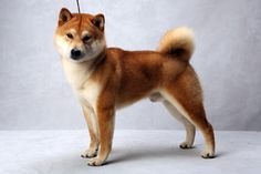 Shiba Inu  Westminster's Best of Breed - Photographs - NYTimes.com