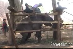 Elephants are kept in a cage and beaten repeatedly. Is Elephants Painting Pictures Actually Cool or Cruel? http://www.visiontimes.com/2015/07/06/is-elephants-painting-pictures-actually-cool-or-cruel.html