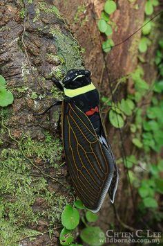 Tacua speciosa. A newly emerged Emperor Cicada,...