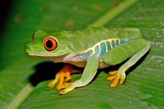40 Really Amazing Tree Frog Pictures