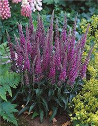 """Veronica (Veronica longifolia) 'Eveline' --- Easy to grow perennial has purplish-pink flower spikes that bloom throughout June to September. 'Eveline' must have good drainage and requires low to moderate watering. Plant in full sun, in containers or in mass plantings. Deer resistant and attracts hummingbirds and butterflies. With a plant height of 12-18"""" and width of 18"""","""