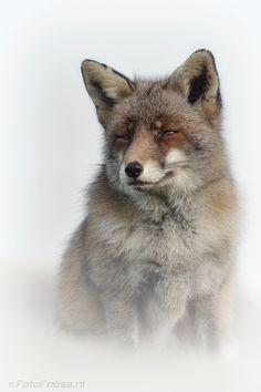 Misty Fox by Foto Foosa on 500px