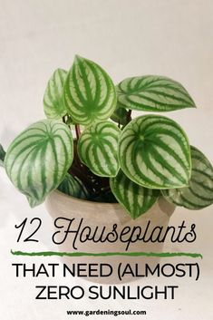 Here are 12 best houseplants that need zero sunlight for healthy growth. Here are 12 best houseplants that need zero sunlight for healthy growth. Plantas Indoor, Household Plants, Decoration Plante, Inside Plants, Best Indoor Plants, Indoor Shade Plants, Gardening For Beginners, Growing Plants, Growing Vegetables