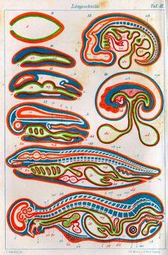 Ernst Haeckel | 1874 | Anthropogenie; oder, Entwickelungsgeschichte des menschen | Keimes- und stammesgeschichte