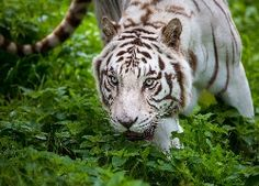 Konkurs Tapeta dnia Big Cats, Kittens, Animals, Pulpit, Tigers, Free, Cute Kittens, Animales, Animaux
