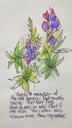 Sketchbook Wandering: Lupines Close Up