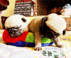 Sleepy pug puppy head bob