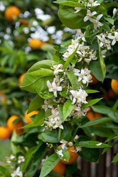 I love trees that smell good- like oranges in blossom. Or coffee blossoms. those smell amazing! Orange Farm, Orange Tea, Orange Grove, Orange Blossom Wedding, Grove Farm, Fruit Stands, Country Farm, Blossom Flower, Balcony Garden
