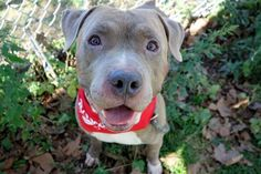 BYRON - A1092709 - - Manhattan  Please Share:TO BE DESTROYED 10/23/16 A volunteer writes: Byron's head is so big I had to expand my leash in order to slip it over his head. Blockhead alert!! And, he's awesome! Surrendered to our care as his person started working longer hours and was unable to care for him, Byron joins us with a stellar resume. He lived well with three children, a toddler and two teens, would engage with dogs on walks if they solicited him, is h