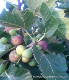 Fig Colors while Ripening