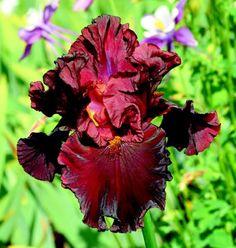 "Iris ""Raptor Red"""