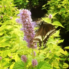 Agastache. Great perennial with bright yellow-green leaves and purple spike blooms. A butterfly favorite!
