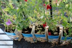 Image for Sweet Peas in Tetra Paks all summer long
