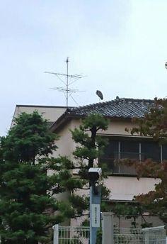 2階の屋根の上に鷺。 よくここで一本足立ちしてます(笑)。
