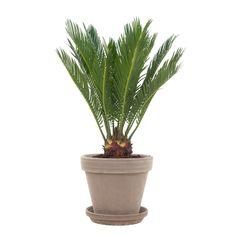 De Cycas revoluta, beter bekend als Varenpalm, is een echte oerplant. Zijn bijzondere uitstraling heeft hij te danken aan de robuuste stam en sierlijke bladeren. #varenpalm #cycasrevoluta #kamerplant #planten #plants #groeninhuis #planteninhuis #urbanjungle Lifestyle Store, Green, Plants, Give Thanks, Plant, Planting, Planets