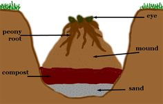 Graphic showing how to dig and fill in hole for planting peonies. For my transplant!