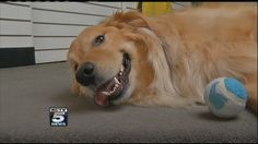 """This links to a video report about the increasing number of pets that have been developing allergies. """"...golden retrievers and labs seem to have the most problems with allergies, but all breeds can be susceptible."""" """"KCTV5 Special Report: Pet allergy problems"""""""