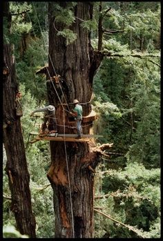 150 Feet up. and still 7 feet in diameter. Giant Tree, Big Tree, Old Pictures, Old Photos, Pot Pourri, Tree Felling, Got Wood, Old Trees, All Nature