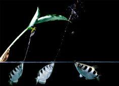 O Peixe Arqueiro | Dicas de Ciências