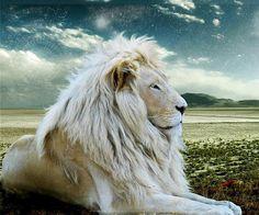 white lion, so pretty..