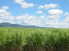 Canebrake: a thick, dense growth of sugar cane