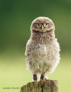 baby Little Owl - Mark Hancox Bird Photography