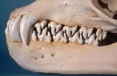 http://www.trappedbymonsters.com/wp-content/uploads/2010/12/leopard-seal-skull.bmp