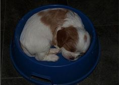 Sleepy Cavalier Puppy Mistaking His Food Bowl For His Bed