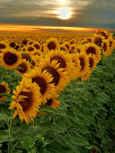 Sunset field of sunflower,