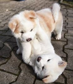 Pupy Training Treats - two adorable chubby puppies playing together // KaufmannsPuppyTra. // Kaufmann's Puppy Training // dog training // dog love // puppy love // - How to train a puppy? Chubby Puppies, Cute Dogs And Puppies, Welsh Corgi Puppies, Akita Puppies, Doggies, Adorable Puppies, Puppies Puppies, Funny Puppies, Funny Dogs