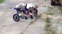 Roozer Brewz the Dwarf Miniature Horse Walks With the Help of Wheels