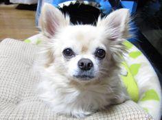 ロングコートチワワ クリームの男の子  投稿者のfaceboojk https://www.facebook.com/yasuko.takahashi.969  #ちわわ #チワワ #ロングコートチワワ  #犬