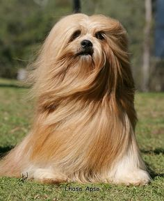 Lhasa Apso. Now this looks like lady, but we cut her hair shorter ...