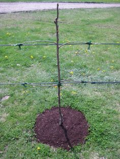 Espalier Project, Part Two — Pruning Technique – Otten Bros. Garden Center and Landscaping Espalier Fruit Trees, Fruit Tree Garden, Trees To Plant, Small Space Gardening, Small Gardens, Outdoor Gardens, Landscaping Retaining Walls, Garden Landscaping, Potager Garden