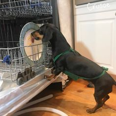 "Crusoe the celebrity dachshund — ""But why do we need a new dishwasher? I told you,. Funny Dachshund, Dachshund Puppies, Weenie Dogs, Dachshund Love, Funny Dogs, Cute Puppies, Cute Dogs, Daschund, Dachshund Gifts"