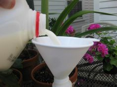 Spray all plants susceptible to black spot and other fungal infections weekly with a milk and water solution. Some gardeners say 1:9 ratio; others say 1:3. This blogger says he uses 1:2.