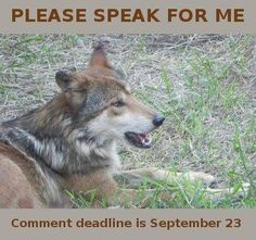 Endangered Mexican Grey Wolf