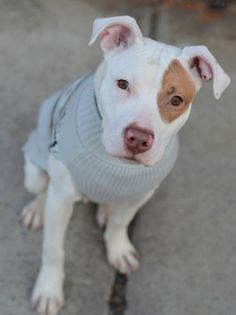 TO BE DESTROYED - 02/13/15 Manhattan Center -P ~~PUPPY ALERT!!~~ My name is BILLY aka BULLY. My Animal ID # is A1025469. I am a male white and red am pit bull ter mix. The shelter thinks I am about 10 MONTHS old. I came in the shelter as a STRAY on 02/03/2015 from NY 11206, owner surrender reason stated was STRAY. https://www.facebook.com/Urgentdeathrowdogs/photos/a.611290788883804.1073741851.152876678058553/945983452081201/?type=3&theater