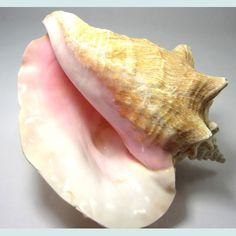 101 Beach House Must-Haves: Beach Grass Cottage Giant Pink Conch Shell | $25